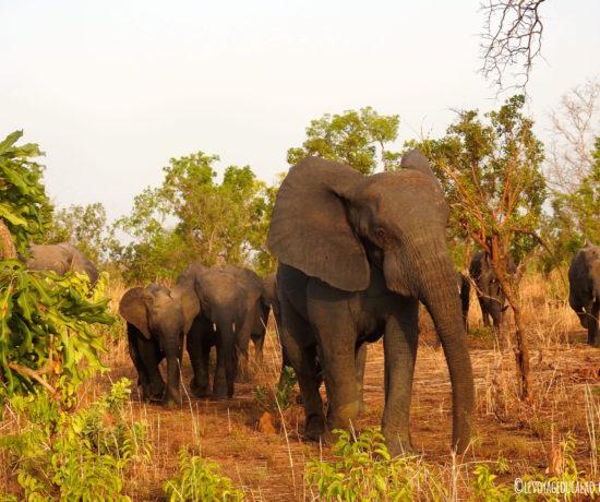 Elephant Pendjari
