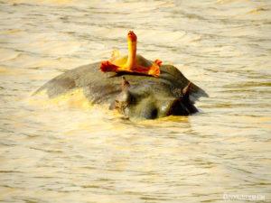 Hippo Tortue Pendjari