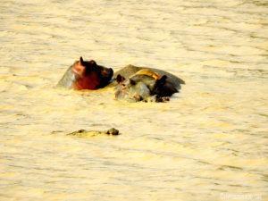 Hippo et son petit Pendjari