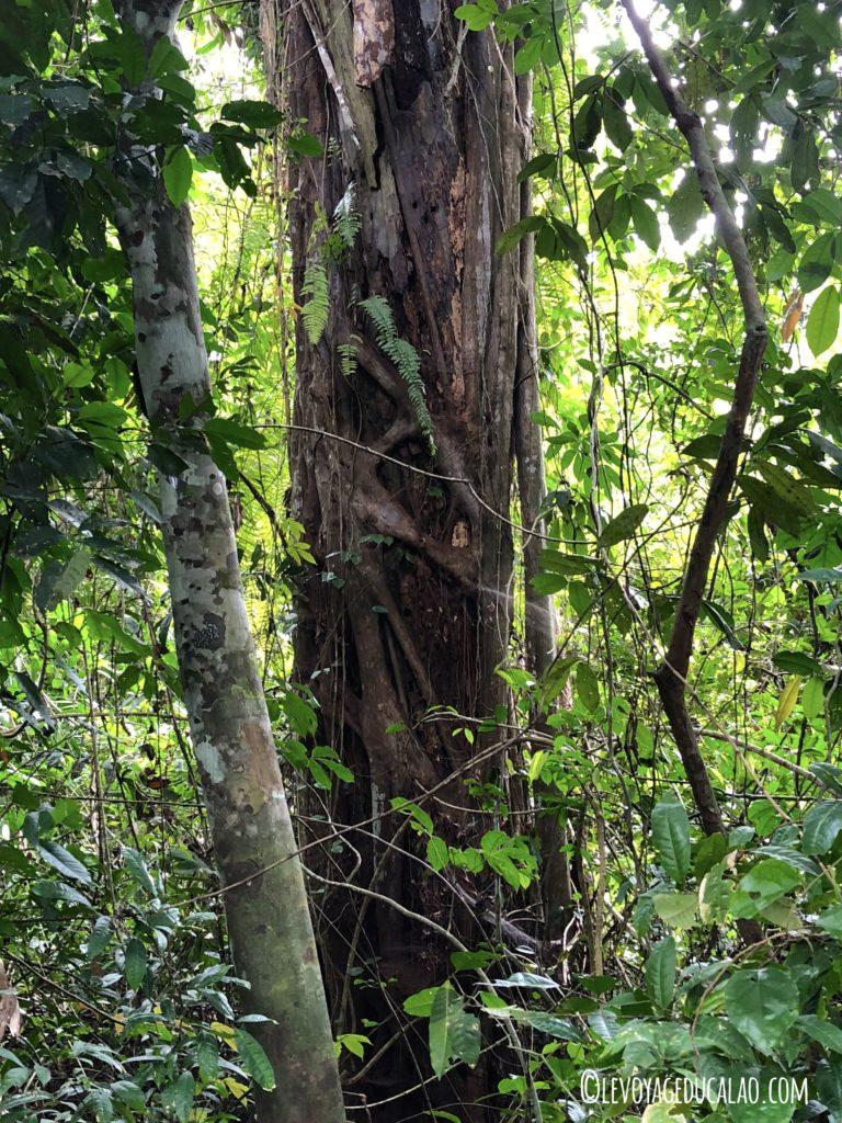 Ficus étrangleur Ehotilé