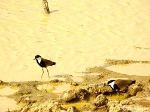 Petits oiseaux Pendjari