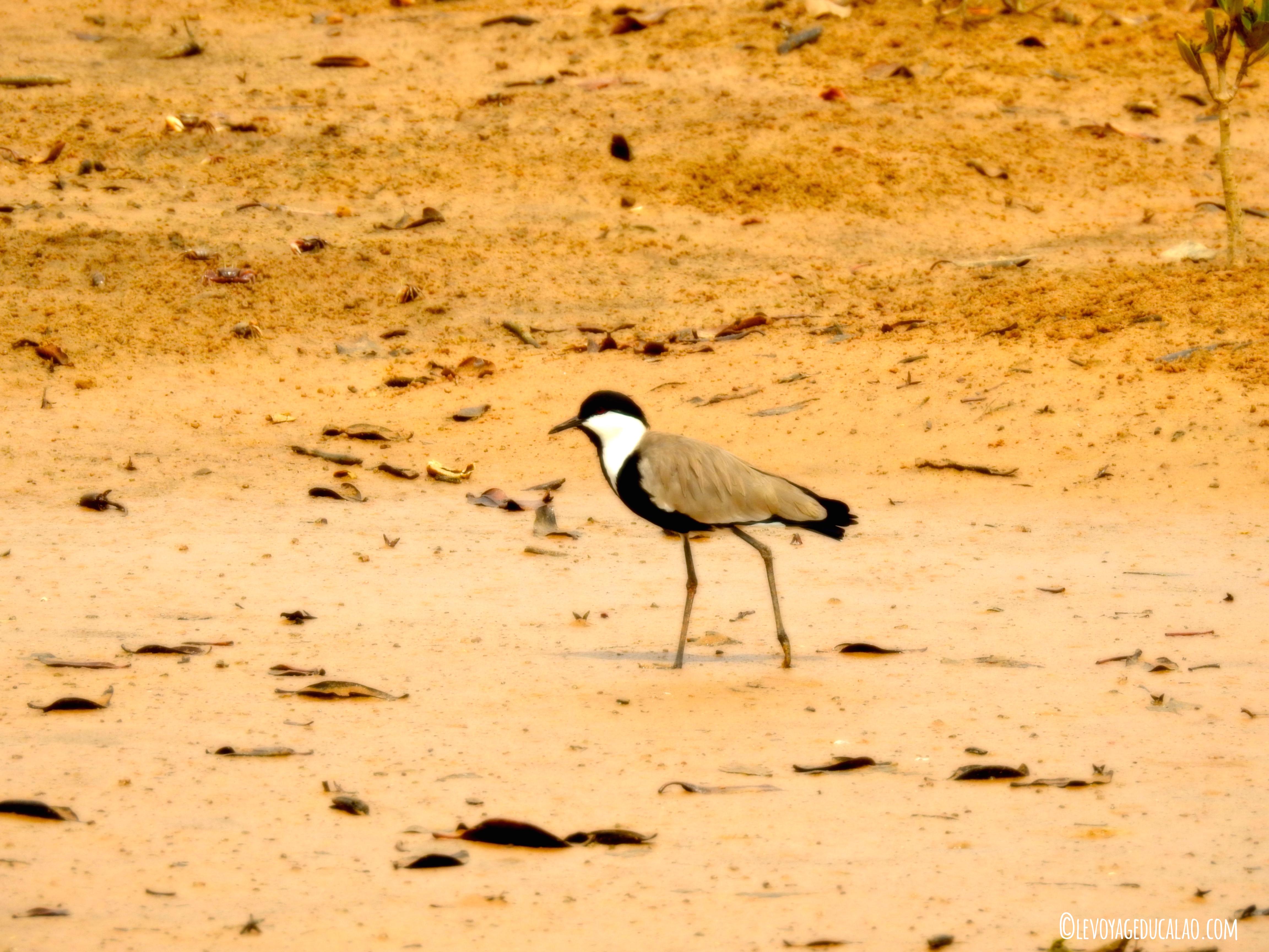 Oiseau Guéréo Sénégal