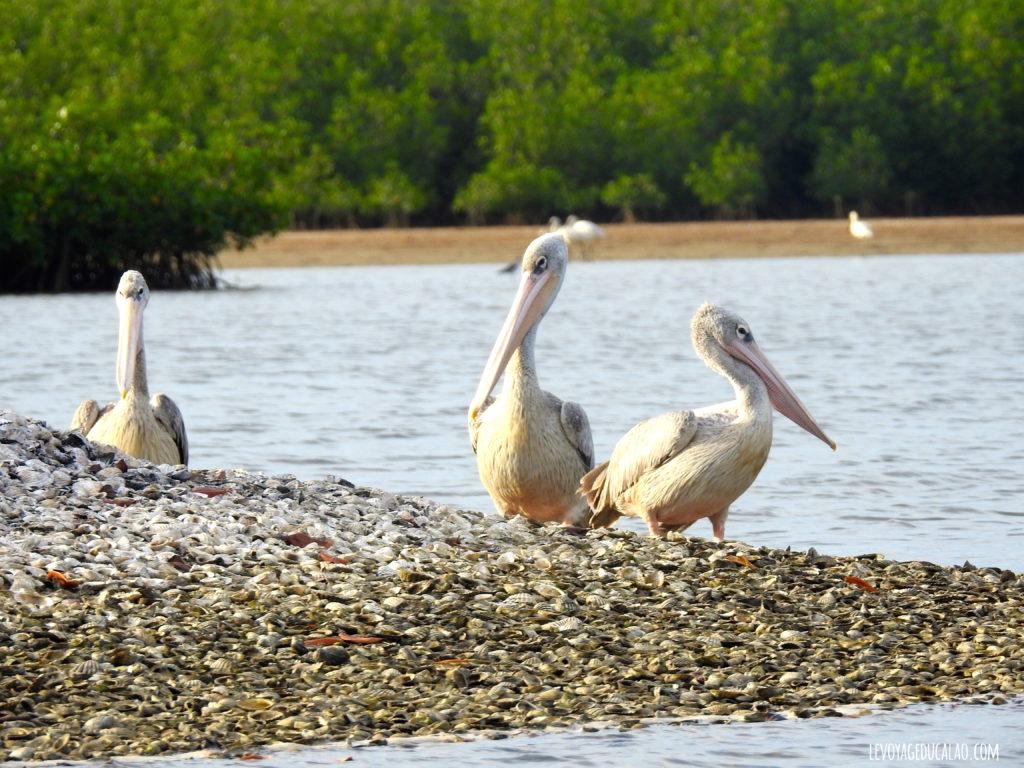 Pélicans Somone Senegal