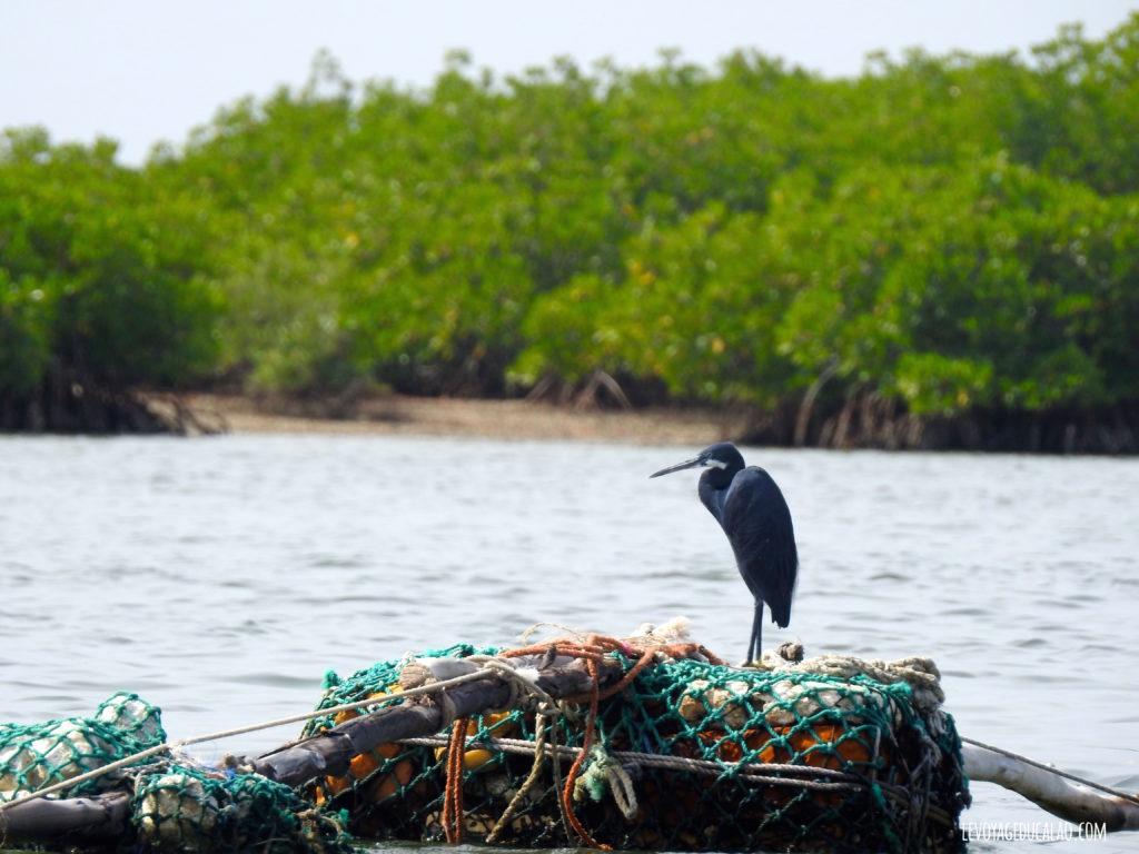 Heron Sine Saloum Sénégal