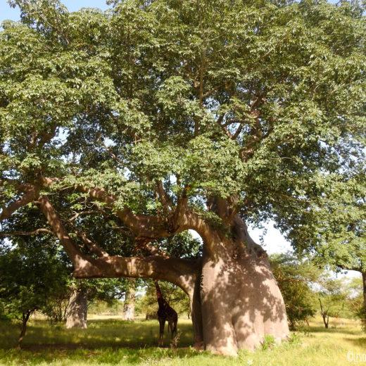 Girafe Baobab Bandia Senegal