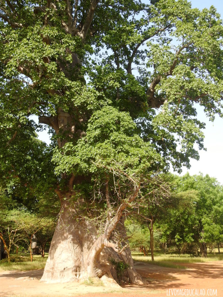Baobab sacré Bandia Senegal