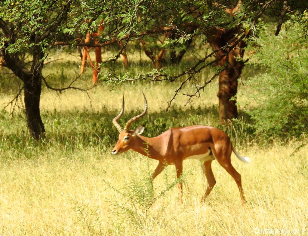 Impala Bandia Senegal