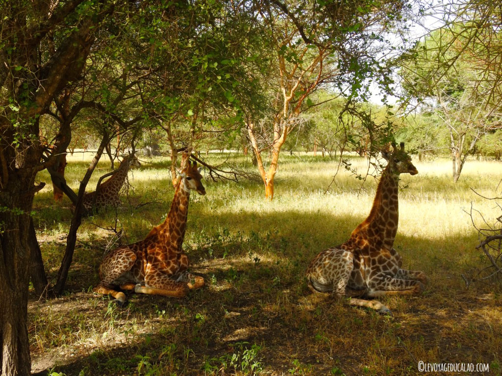 Girafe Bandia Senegal