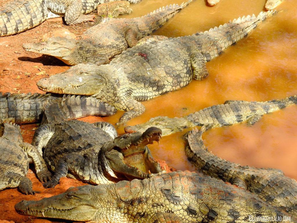 Crocos Bandia Senegal