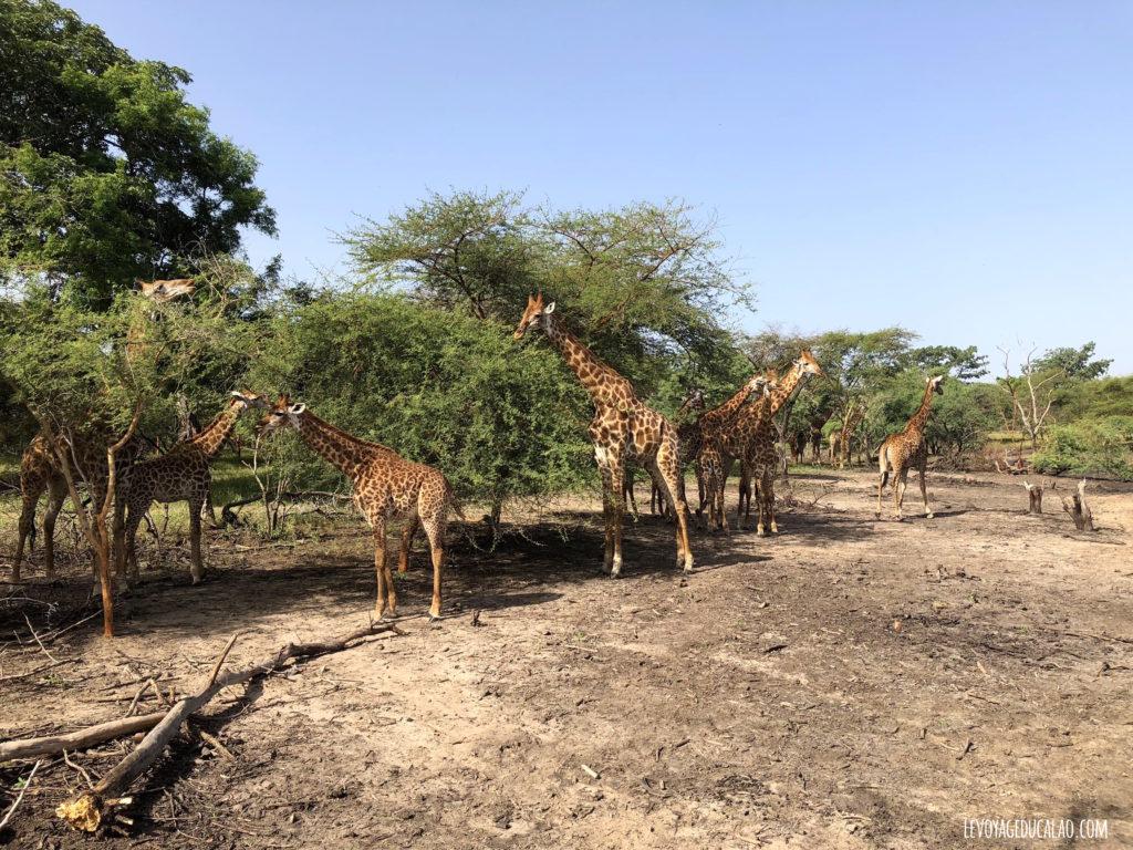 Girafes Bandia Sénégal