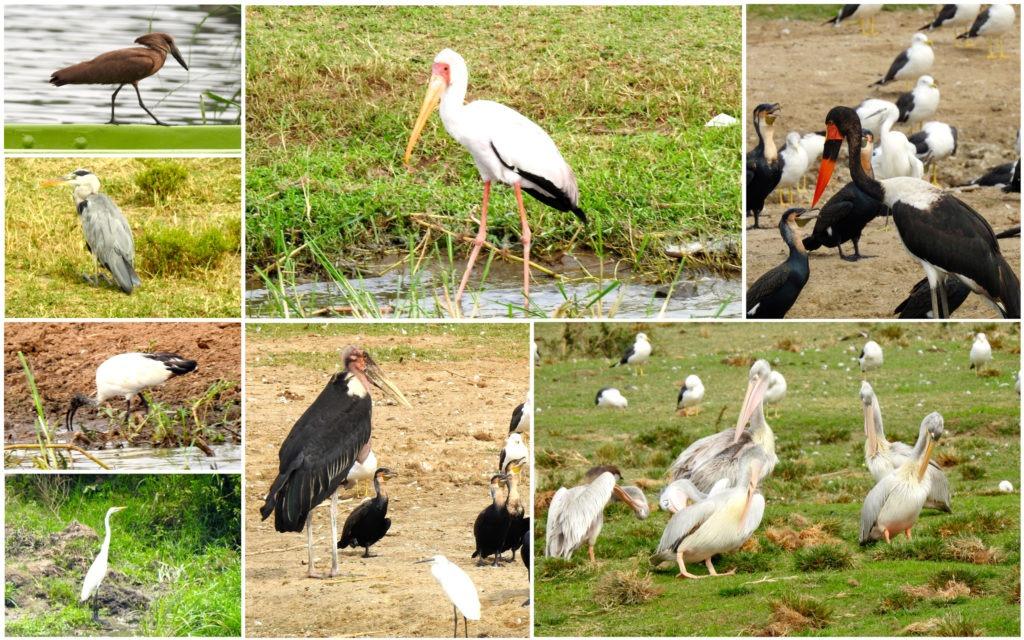 Oiseaux Ouganda