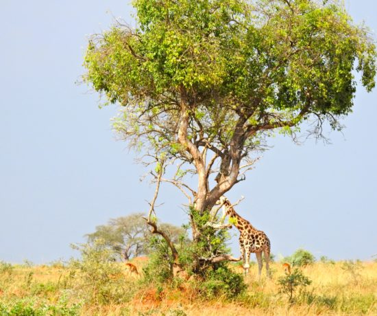 Savane giraffe Ouganda