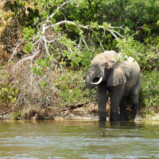 Elephant Nil Ouganda