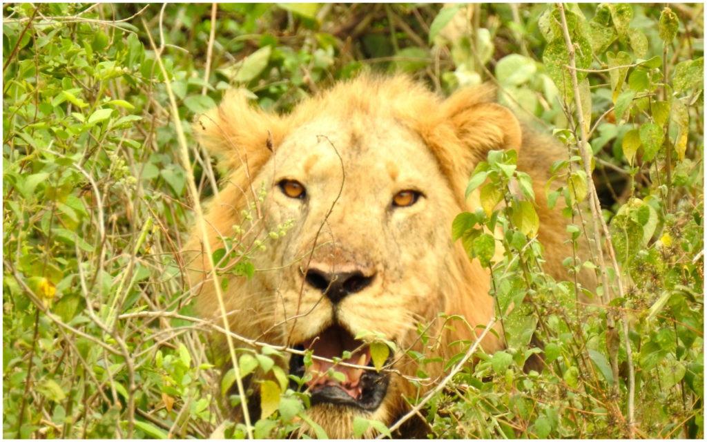 Lion QE Ouganda couverture