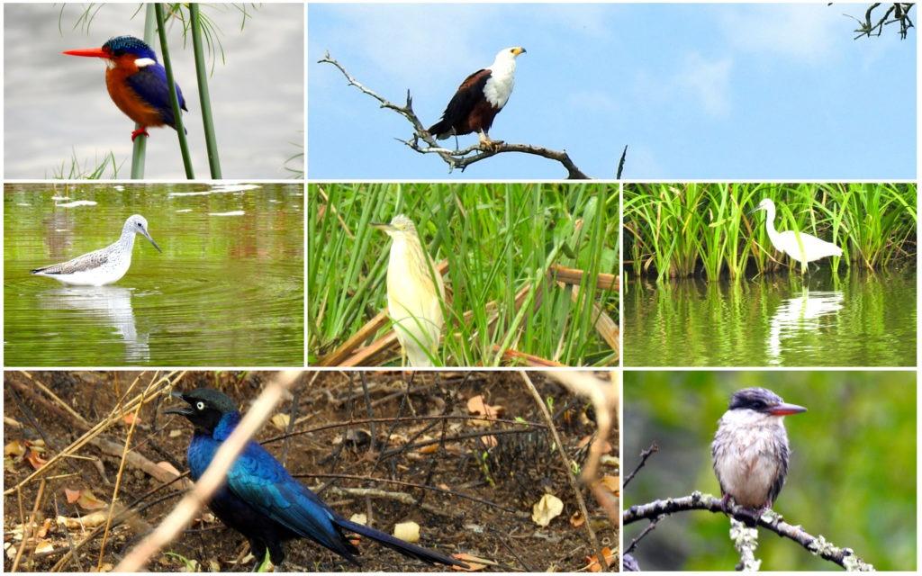 Oiseaux Lac Mburo Ouganda