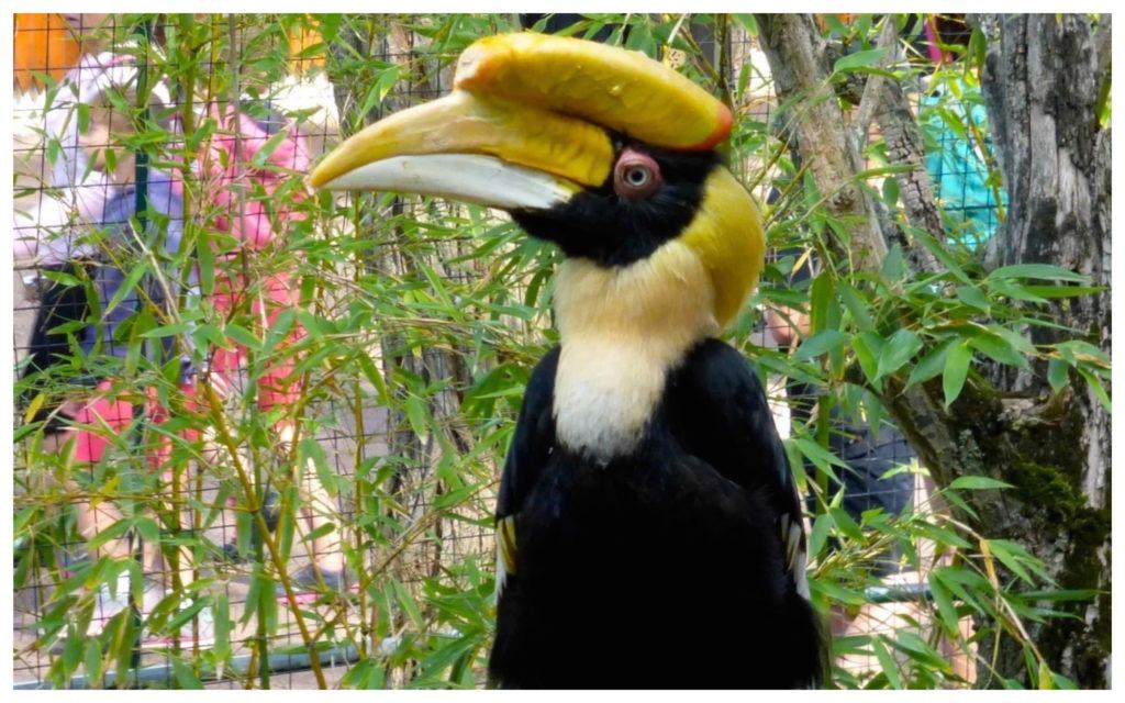 Calao Bicorne Zoo