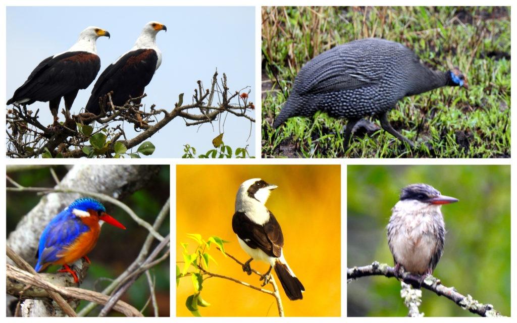 Oiseaux Safari