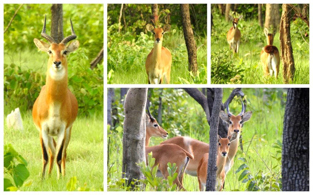 Antilopes Réserve Nzi Côte d'Ivoire