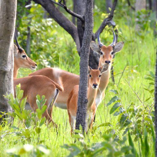 Réserve Nzi antilopes