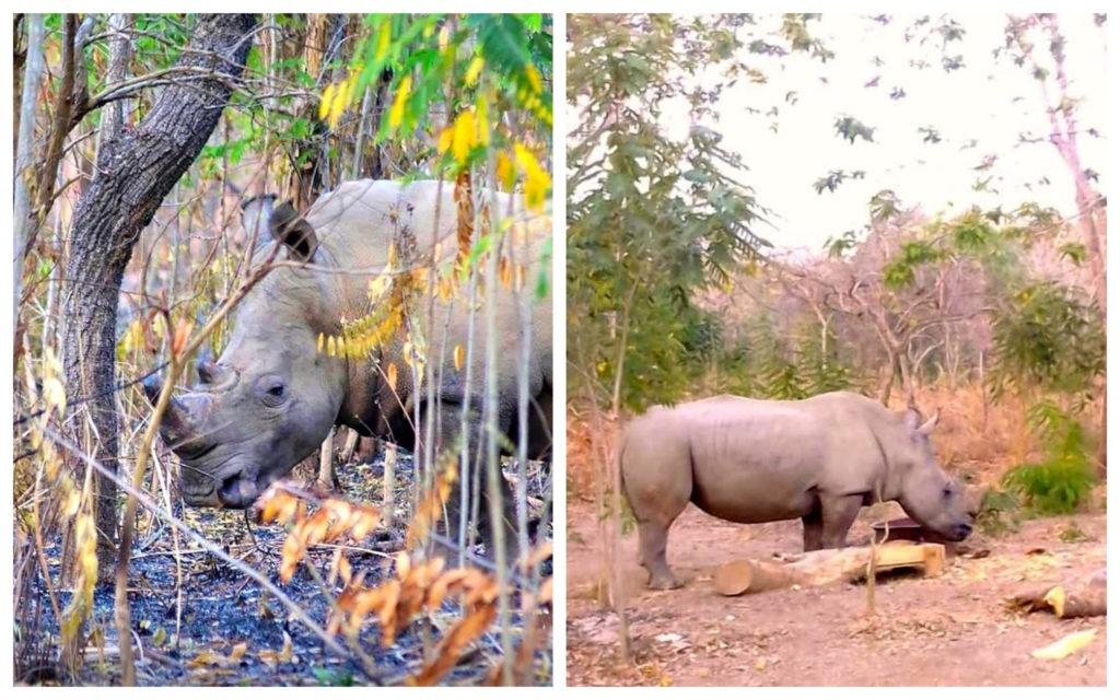 Rhinocéros Réserve Nzi Côte d'Ivoire
