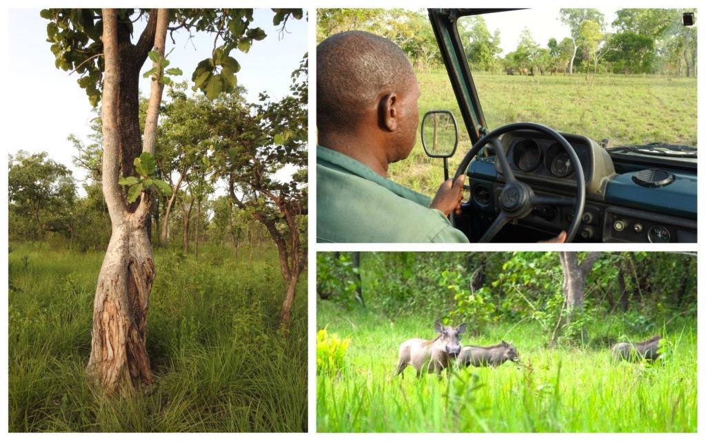 Phacochères Réserve Nzi Côte d'Ivoire