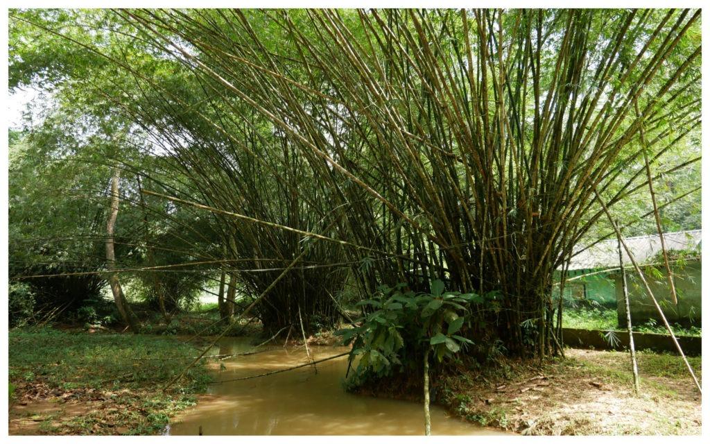 Banco bambous