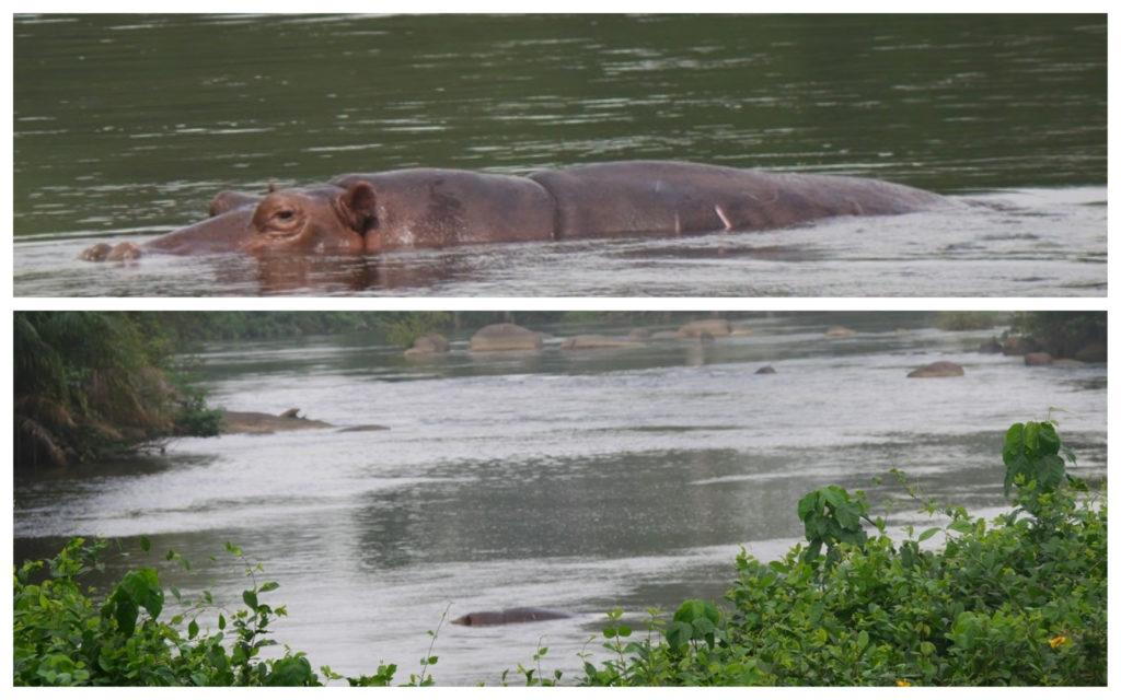 Sassandra hippos