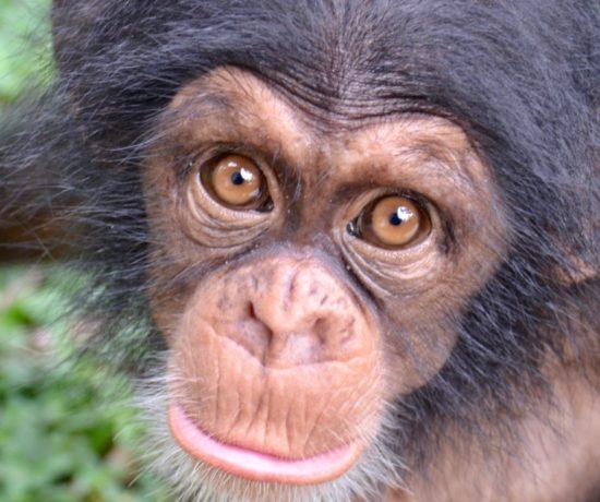 Nemley Chimpanzés Akatia